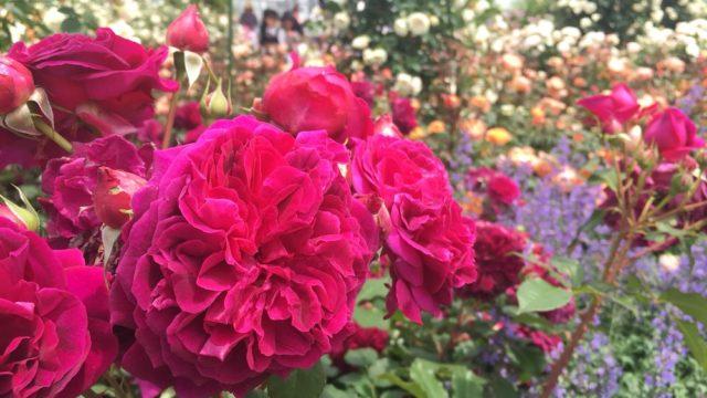 松坂ベルファームのバラ