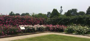 松坂ベルファームのバラの花